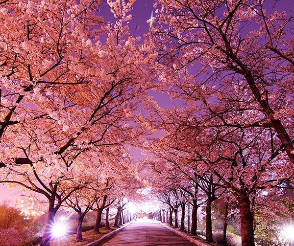 festa-primavera-ciliegi-fiore-giappone-da-vedere