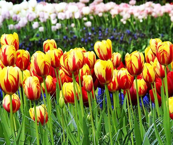 tulipani-olandesi-usi-costumi-olanda