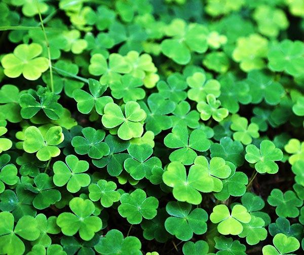 trifoglio-simbolo-irlanda-cose-pop-irlandesi