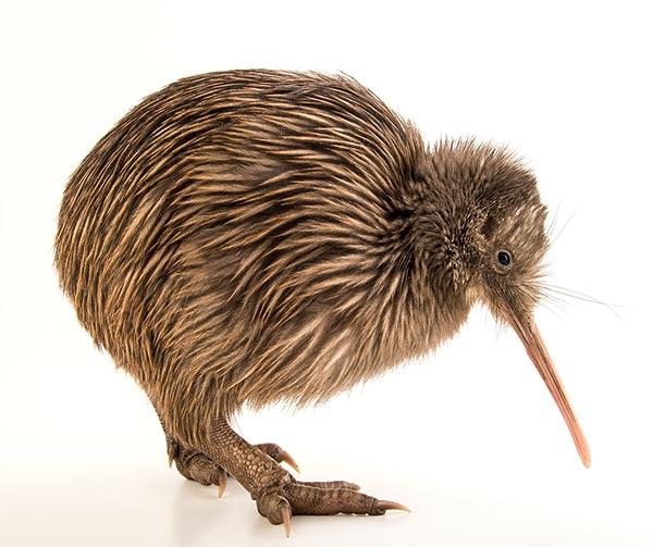 apteryx-kiwi-usi-costumi-neozelandesi